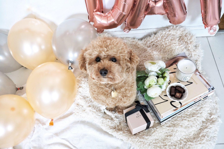ningo toy poodle pup blogger
